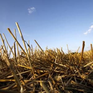Стерня пшениці